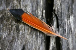 Orange Feather by Vaerli