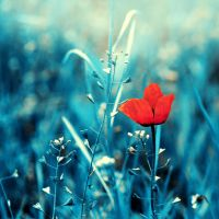 ... poppy ... by BaxiaArt