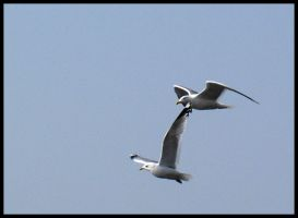 Seagulls in search of food by peax