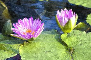 Water Lily Flowers - Magenta in Color by dworld