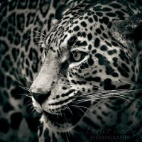 Monochrome Jag by DeniseSoden