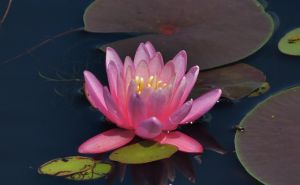 Pink Water Lily Of The Patuxent by Matthew-Beziat