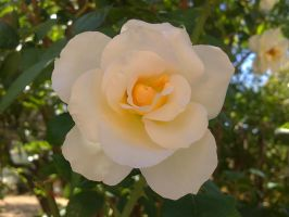 white rose by missveronici