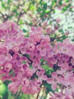 Lilac^^ by JanuaryLOVER