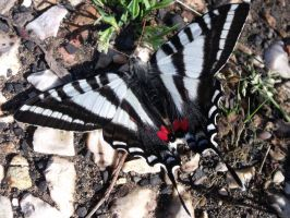 Zebra butterfly by fluffylink