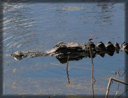 American Alligator 20D0048579 by Cristian-M