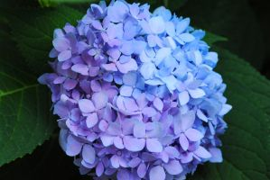 Gradient Mountain Hydrangea by Ever-Midnight-Song