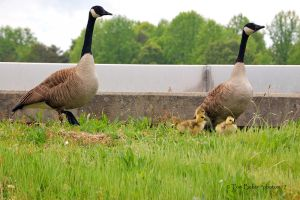the gosling 5 by photom17