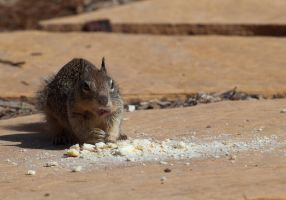 Squirrel eating bread by dkbarto