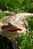 Bearded Dragon by Shed-Light