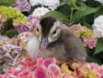 Carolina Wood Duckling by Lionessrules