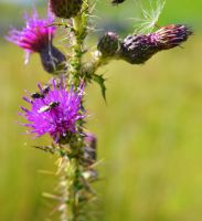 Flies Upon A Thistle by JimmySherwood