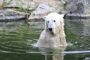 Knut the Polar Bear by ScHoKoKeKsChEn