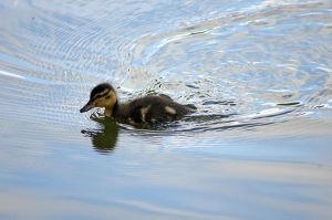 Duckling 9624 by filmwaster