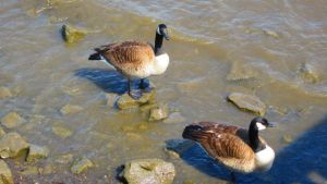 Geese 3 by poetrylion93