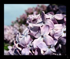 Highland Park Lilacs by Moonlesswind