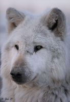 white wolf portrait by Yair-Leibovich