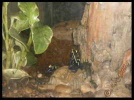 Poison Dart Frogs by RagdyDesigns
