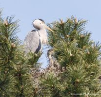 Heron 7 - Where's Dad? by Okavanga