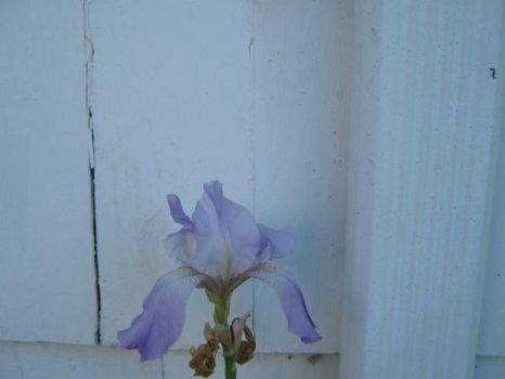 iris by AnnwnEvelyn