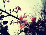 Cherry blossoms by cazt1811