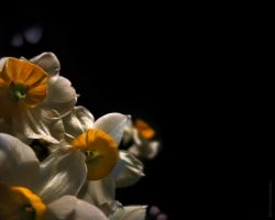 narcissus in My room by sara-nmt