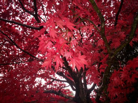 Maple en Rouge by Shadowbrother