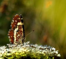 Butterfly One by Callu