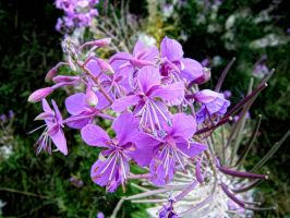 fireweed by Paul774