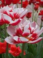 Red tulips by SiennaNight