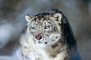 Snow Leopard 15 by catman-suha