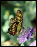 Tailed Jay Butterfly by shutterbugmom