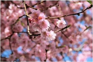 Blossom by Tiger--photography