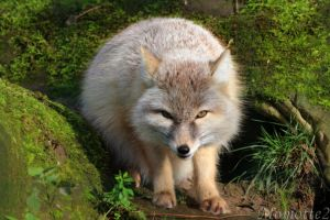 Sweet Corsac Fox by Momotte2