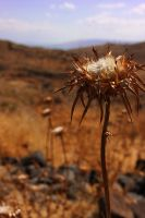 Autumn Thistle by Timothy-Sim