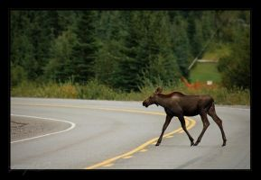 Moose Crossing by tisbone