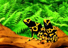 Bumblebee Poison Frogs by FauxHead