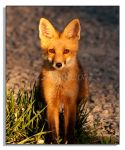 Red Fox - 1 by bp2007