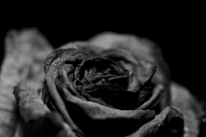 Black rose by Risigma