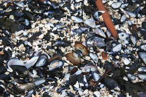 mussel texture 1 by An-Mochi