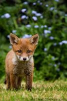 Fox Cub 05 by Alannah-Hawker