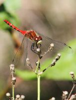 Red Dragonfly by OrioNebula