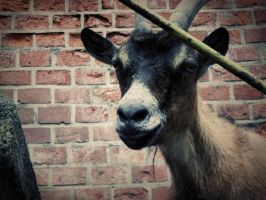 goat by 11Domi