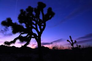 Joshua Tree and Sunset by jorobins