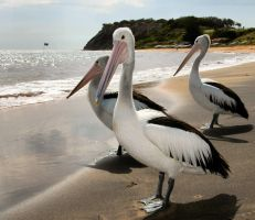 3 Pelicans by heartyfisher
