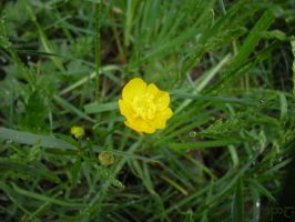 Buttercup by Indiliel
