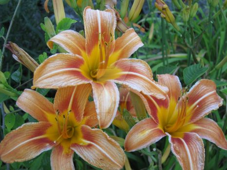 Lilies by CeraRose