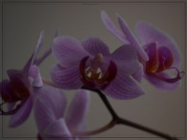 Orchidaceae by rope-Focus-admission