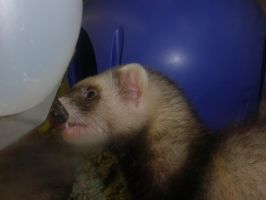 Ferret pics 1 by DragonLover4Ever