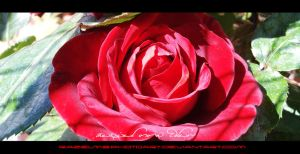 Roses I by RazielMB-PhotoArt